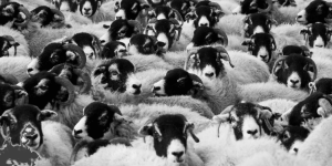 A herd of sheep.